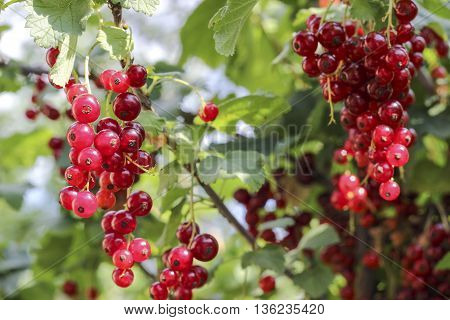 Ripe Red Currants In A Garden