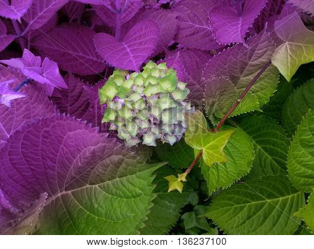 Beautiful double colour plant and flower in lilac and green
