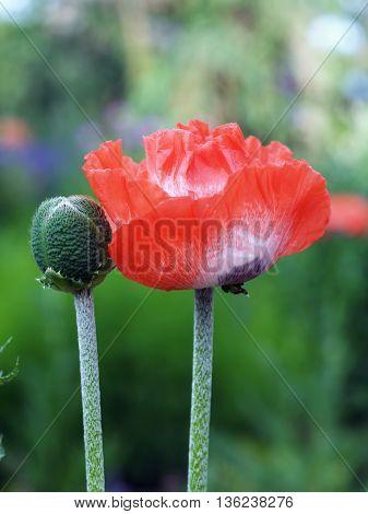 Red blossom of sown garden decoratice poppy