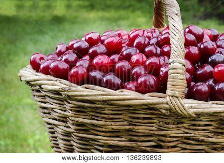 Basket Full Of Ripe Red Cherries