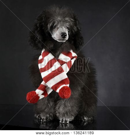 puppy Poodle in a dark photo studio