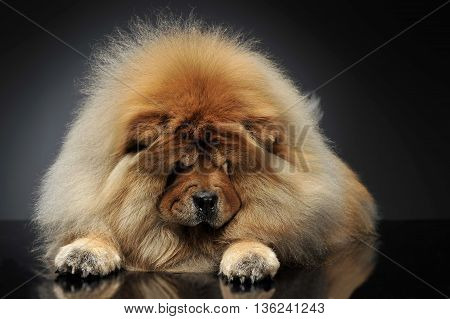 Beautyful Chow-Chow looking down in a drk studio
