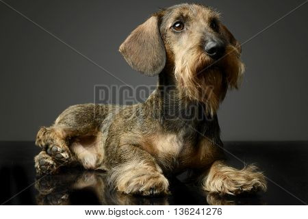 wired hair Dachshund looking in the studio table