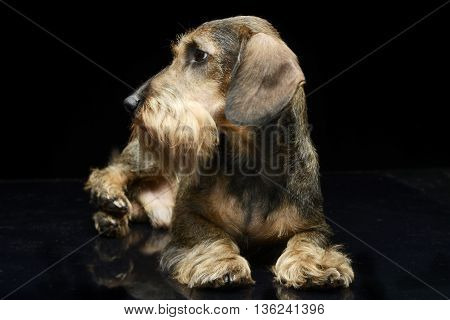 Dachshund looking out of the picture in dark studio
