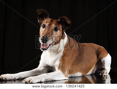 Jack Russell Terrier looking in a black studio