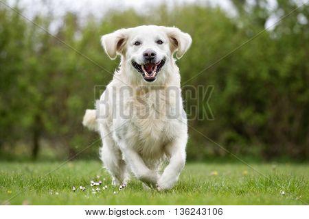 Golden Retriever Dog Running Outdoors In Nature