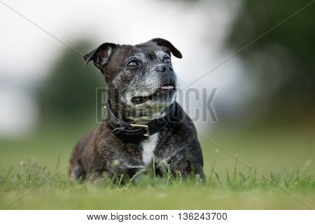 Old Staffordshire Bull Terrier