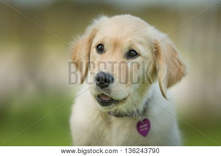 Young Golden Retriever Puppy