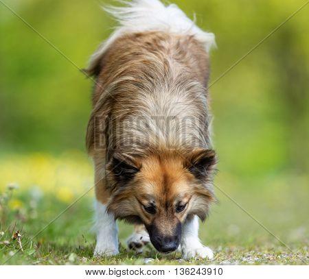 Brown Icelandic Sheepdog