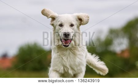 White Golden Retriever Dog