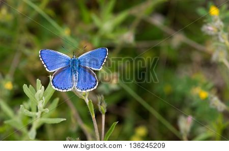 Blue butterfly against green grass - macro. Selective focus copy space.