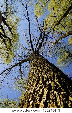 Rare giant trees under blue sky in spring