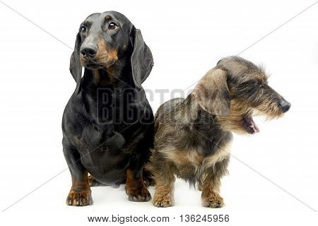 Two Dachshund Sitting In The Whie Studio