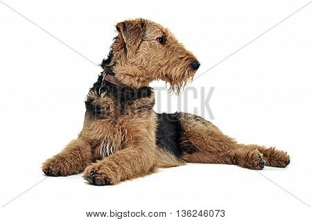 Airedale Terrier Lying On The White Studio Floor And Looking Right