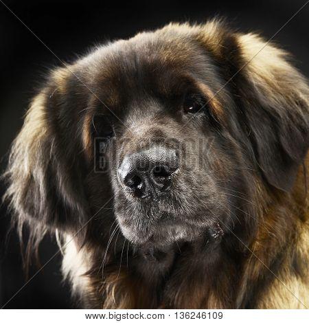Big Dog Leonberger Portrait In The Studio