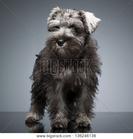 Puppy Schnauzer Staying In The Studio Table