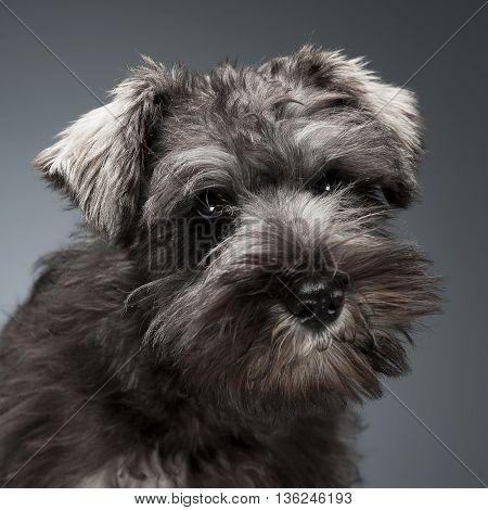 Schnauzer Puppy Portrait In A Dark Studio Background