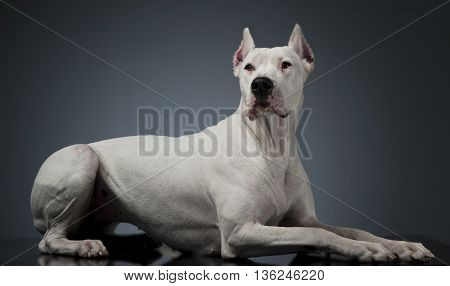 Argentin Dog Lying On The Studio Table