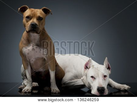 Argentin Dog And Staffordshire Terrier On The Floor