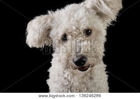 Lovely Mixedbreed White Dog In The Black Background Looking At The Camera