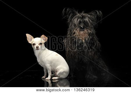 A Black Mutt And A Chihuahua In Dark Background