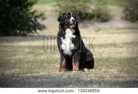 Bernese Mountain Dog sitting on the ground