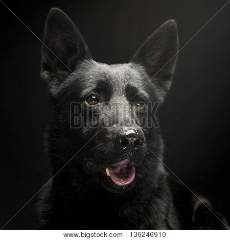 Black German shepherd portrait in a dark studio