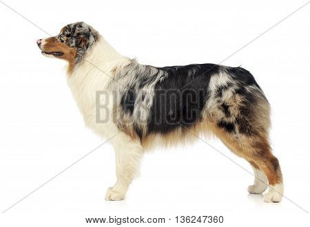 Australian shepherd standard in white photo studio