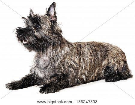 Cairn Terrier Lying In The White Studio Floor