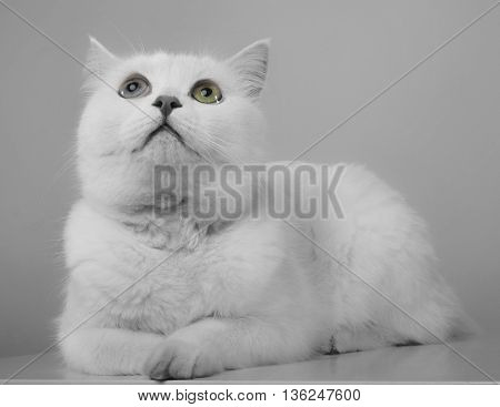 White Cat Looking Up In A Studio