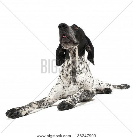 German Pointer lying on the white studio floor and looking up