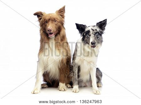 Two Border Collie sitting in the white background
