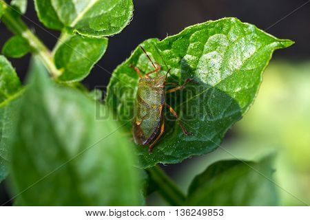 The green shield bug (Palomena prasina) is a shield bug of the family Pentatomidae