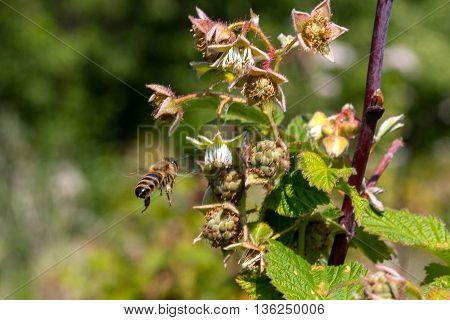 bee flies to the raspberries flower for pollination