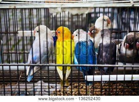 African Lovebirds (Agapornis) parrots is sitting in the cage on pet market
