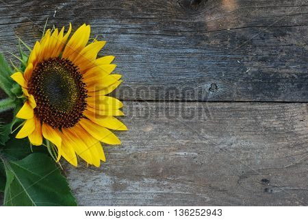 Bright faced sunflower against a vintage background