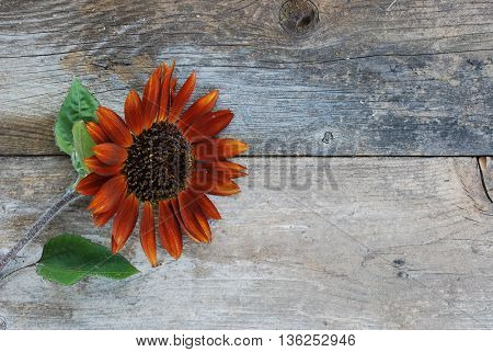Rust colored sunflower against  vintage background on the farm