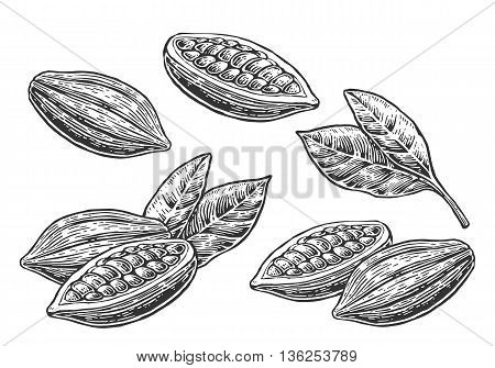 Leaves and fruits of cocoa beans. Vector vintage engraved illustration. Black on white background.