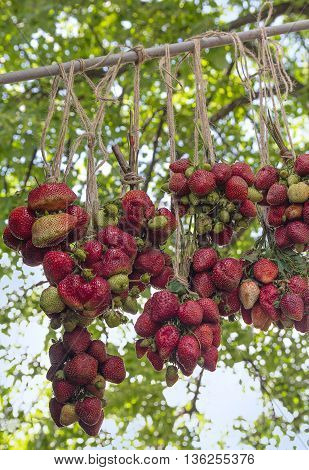 Ripe strawberries hanging in the garden. Agriculture