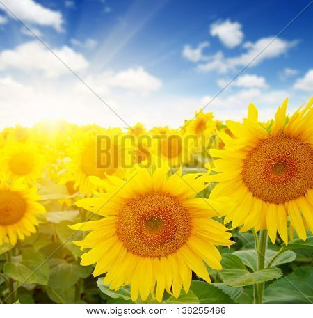 field of sunflowers and sun