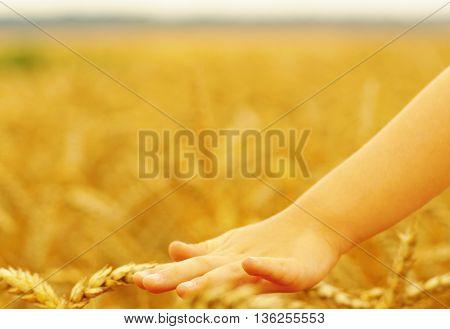 Hands of little girl in the wheat field