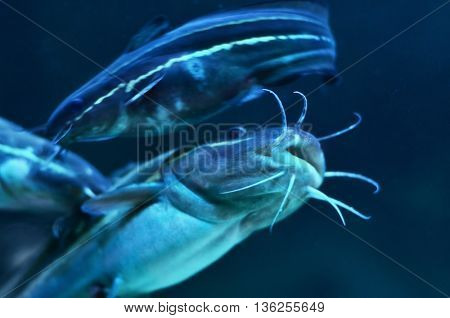 Baby of catfish swimming in dark water. Mouth in focus.