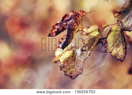 Branch of hawthorn with withered autumn leaves. Golden autumn.