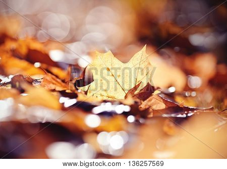 The yellow fallen leaf of a maple in the autumn. Golden autumn.