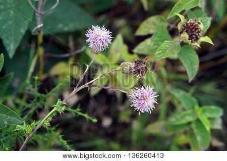 Creeping thistle flowers (Cirsium arvense), also known as the Canada thistle, bloom in Shorewood, Illinois during August.