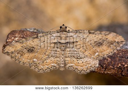 The fern moth (Horisme tersata). Insect in the family Geometridae showing indistinct markings