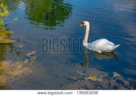White swan swimming gently in still lake water in blue light in Germany