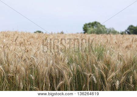 The image of a wheat field