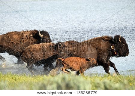 a herd of buffalo stampede along a river