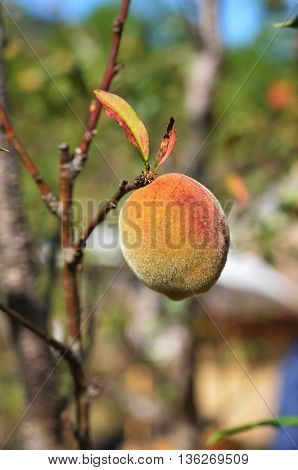 Peach in peach farm in  chiang Mai farm in  thailand